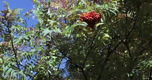 Rowan with ripe fruits. Of mountain ash in the light of the morning sun in the city park of South Butovo stock footage