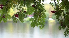 Rowan and river in cityscape under rain in autumn stock video footage