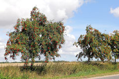Rowan at roadside, Sorbus aucuparia. The European rowan, lat. Sorbus aucuparia, is planted also as street tree, like here at a country road in Mecklenburg in Stock Images