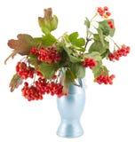Rowan, rowanberry, rowan-tree. Sorb, wild ash, viburnum, guelder rose on a white background Royalty Free Stock Image