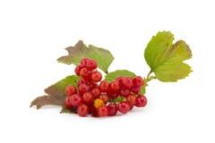 Rowan, rowanberry, rowan-tree. Sorb, wild ash, viburnum, guelder rose on a white background Stock Photo