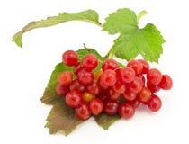 Rowan, rowanberry, rowan-tree. Sorb, wild ash, viburnum, guelder rose on a white background Stock Photos