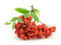 Rowan, rowanberry, rowan-tree. Sorb, wild ash, viburnum, guelder rose on a white background Stock Images