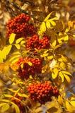 Rowan. rowanberry. rowan-tree. sorb. wild ash. Rowan in the brightest clusters, red and yellow royalty free stock image