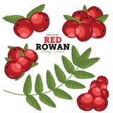 Rowan Set, vettore Fotografia Stock