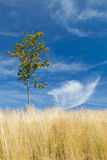 Rowan. Small rowan among dry hay with blue sky and wispy clouds in the background Royalty Free Stock Images