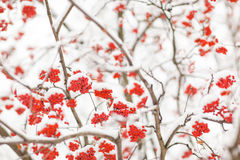 Rowan in snow. Rowan-berry in snow on white background - close-up shot - shallow DOF Stock Images
