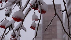 Rowan in the snow on a background of snow and the high-rise buildings stock video footage