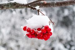Rowan branch in the snow royalty free stock images