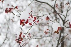 Rowan in the snow Royalty Free Stock Image