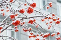 Rowan in the snow Royalty Free Stock Photo