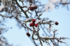 Rowan in the snow. Snow-covered mountain ash branch against a blurred background of sky Royalty Free Stock Photography