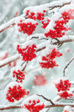 Rowan in the snow Stock Image