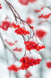 Rowan in the snow Royalty Free Stock Photography