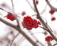 Rowan in the snow. Red wild rowan berries covered by first snow Royalty Free Stock Photo