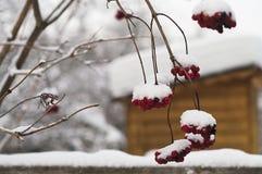 Rowan And Snowfall Fotografía de archivo libre de regalías