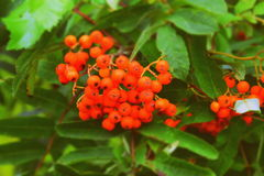 Rowan, Sorb. Autumn is coming. The autumn is coming and the sorb going orange Royalty Free Stock Photo