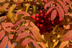 Rowan. (Sorbus aucuparia) in the autumn colors Royalty Free Stock Photos