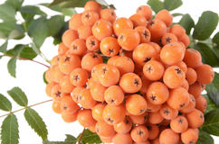 Rowan (Sorbus aucuparia) berries. And leaves close-up Stock Image