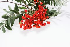 Rowan Sorbus aucuparia berries and leaves isolated on white. Background Stock Image