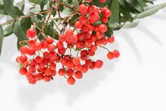 Rowan Sorbus aucuparia berries and leaves isolated on white. Background Royalty Free Stock Photos