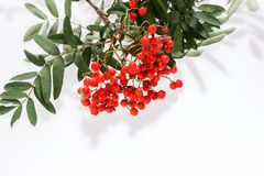 Rowan Sorbus aucuparia berries and leaves isolated on white. Background Stock Photos