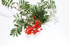 Rowan Sorbus aucuparia berries and leaves isolated on white. Background Stock Photography