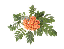 Rowan (Sorbus aucuparia) berries. And leaves on white background Royalty Free Stock Image