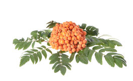 Rowan (Sorbus aucuparia) berries. And leaves on white background Stock Photography