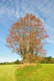 Rowan (Sorbus aucuparia). Colorful and crisp image of rowan (Sorbus aucuparia Stock Photography