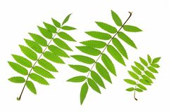 Rowan (Sorbus aucuparia). Rowan leaves (Sorbus aucuparia) isolated against white background Stock Image