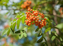 Rowan Sorbus aucuparia. Orange red fruits Stock Images