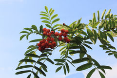 Rowan Sorbus aucuparia. Ripe fruit of a rowan tree Sorbus aucuparia Stock Photo