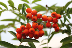 Rowan Sorbus aucuparia. Ripe fruit of a rowan tree Sorbus aucuparia Royalty Free Stock Images