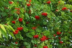 Rowan Sorbus aucuparia tree, ash berry clusters with green lea. Ves around stock images