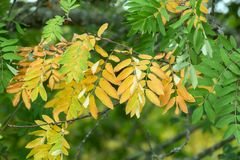 Rowan, Sorbus aucuparia twig yellow leaves. In summertime royalty free stock photography