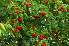 Rowan Sorbus-aucupariaboom, de clusters van de asbes met groen weiland stock afbeeldingen