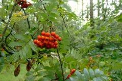 Rowan or Sorbus berries. The almost ripe berries of the Rowan or Sorbus tree in late summer in England stock photo