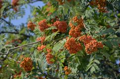 Rowan, Sorbus, Plant, Heteromeles royalty free stock photos