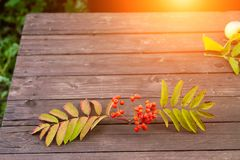Rowan sprig with red fruits and green leaves on a wooden table in the garden stock image
