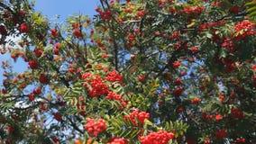 Rowan in summer against the blue sky. Large red berries stock video footage
