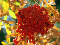 Rowan in the sunlight. Autumn. Tree. Yellow dry leaves. Red mountain ash Stock Images
