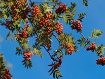 Rowan tree. On sunny september day Stock Image