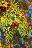Rowan tree Stock Images
