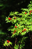 Rowan tree. Leaves and berries of rowan tree Stock Photo