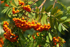 Rowan tree. Close up of the ripe rowan berries Royalty Free Stock Image
