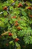 Rowan Tree Royalty Free Stock Photography