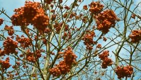Rowan tree Royalty Free Stock Photo