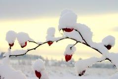 Rowan-tree Royalty Free Stock Photos