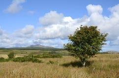 Rowan tree, Arran Stock Photo